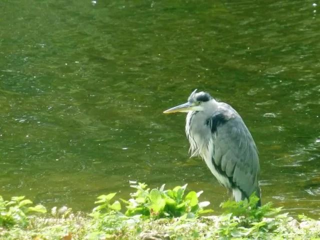 heron on St James Park lake