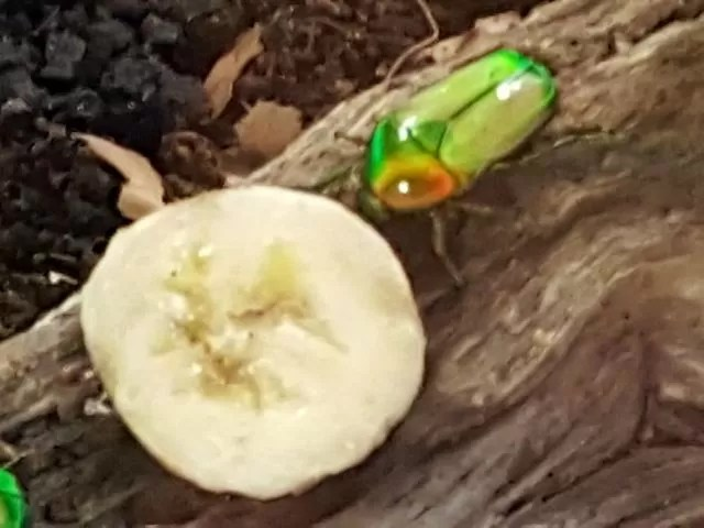 little green beetle at butterfly world project