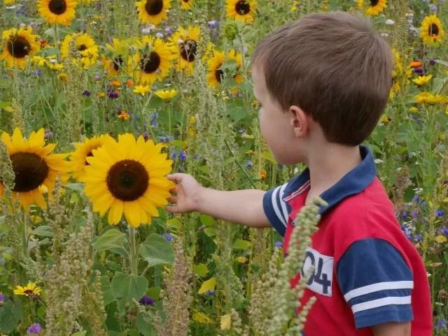sunflowers and wildflower meadow