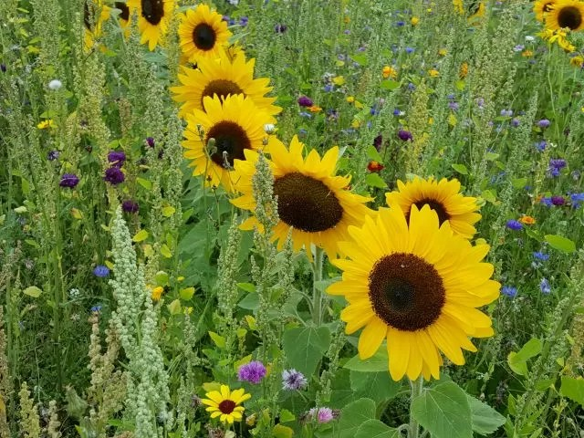 sunflowers in a row in the wildflower meadow butterfly world project