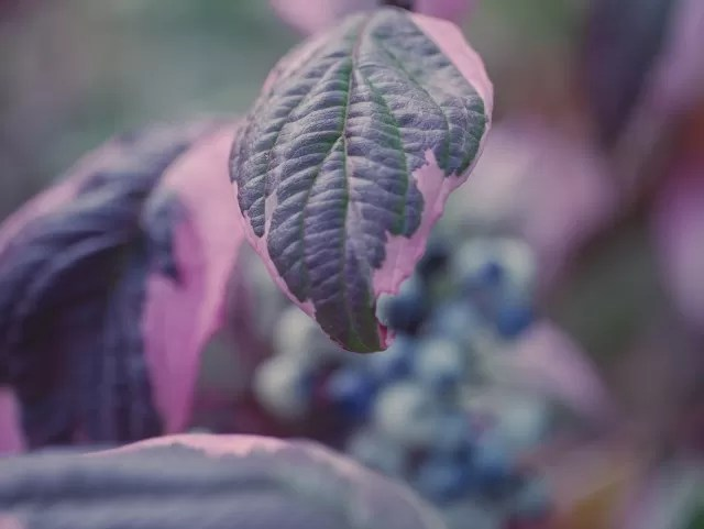 purple leaves and white berries