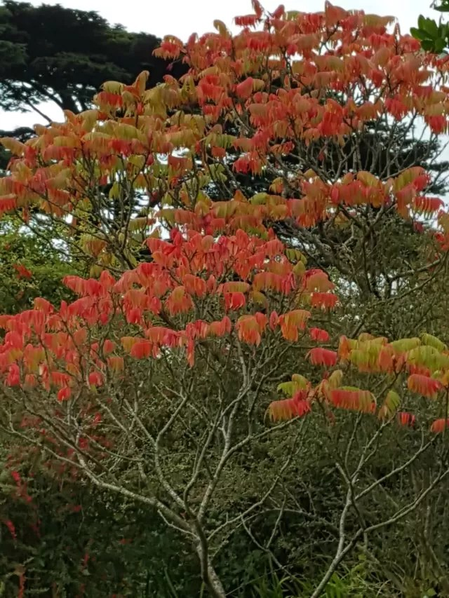 red leaves of Autumn at Upton House