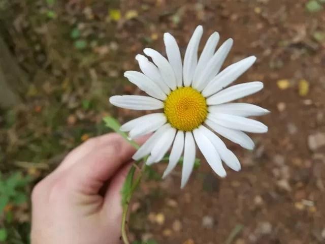huge daisy
