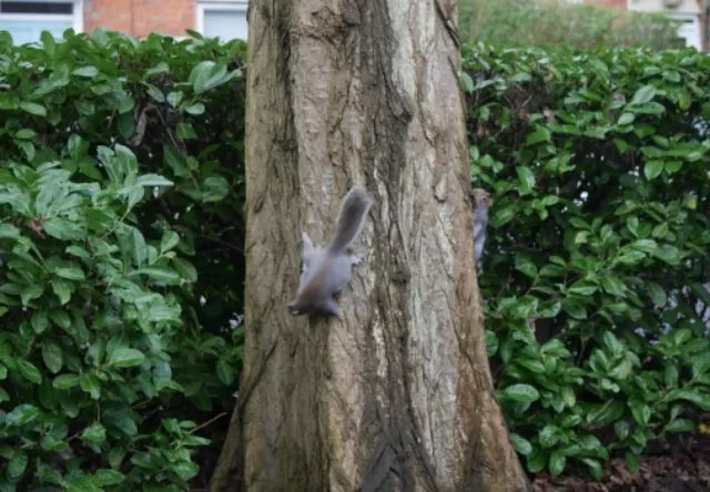 2 grey squirrels chasing around a tree
