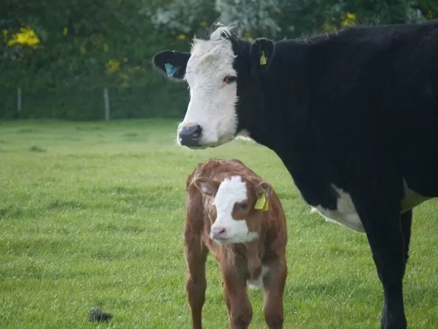 answering questions about cows - cow and calf