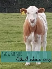questions about cows