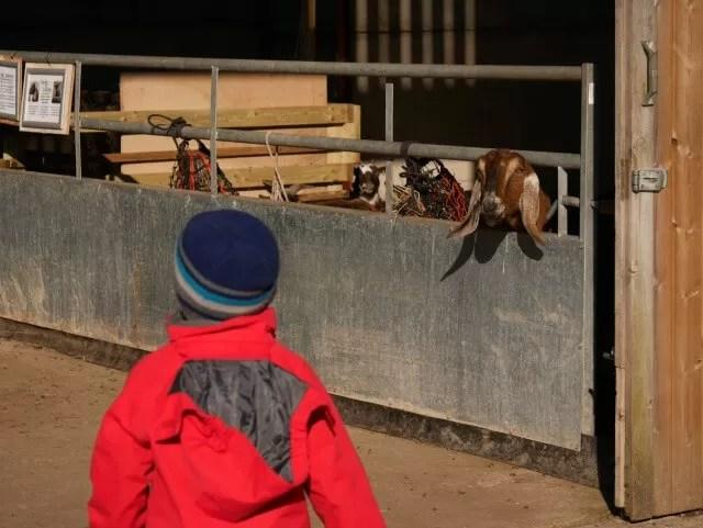 in the animal barn at Green Dragon farm