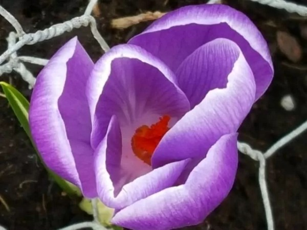 purple crocus macro