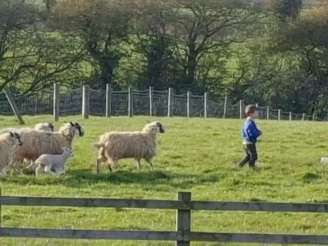follow my leader with sheep - lambing season