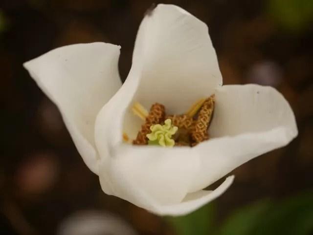 white tulip macro