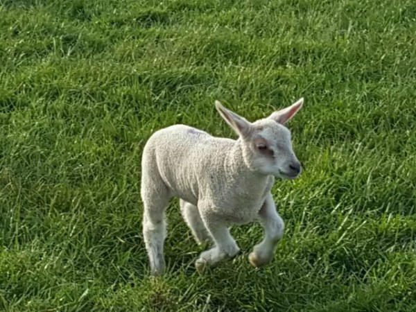 gamboling lamb