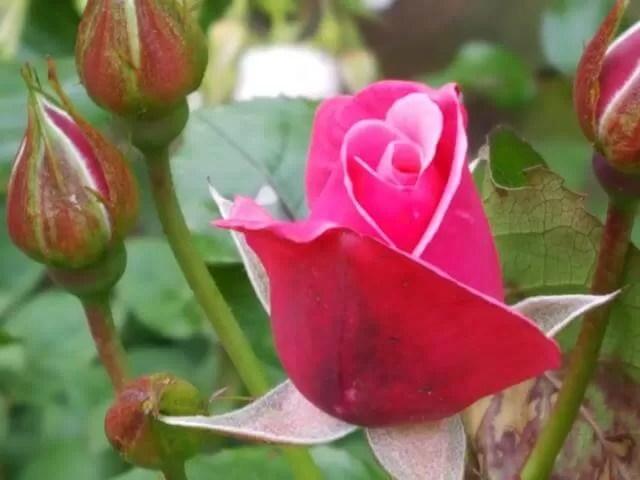 My Sunday Photo pink rosebud