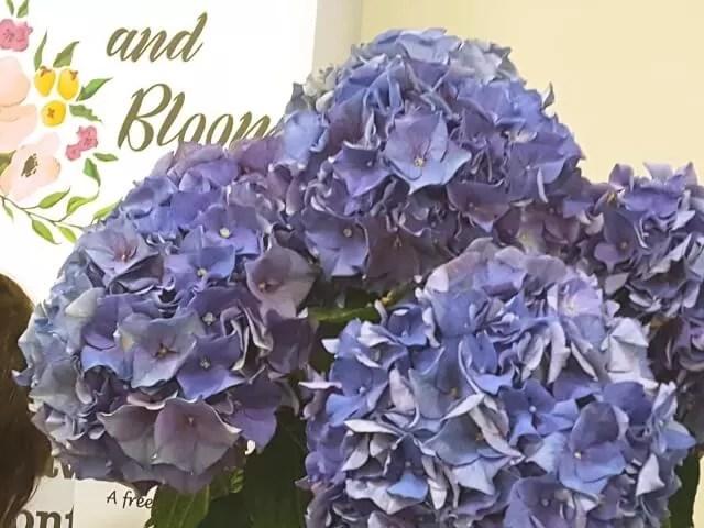 hydrangeas Grace and Bloom