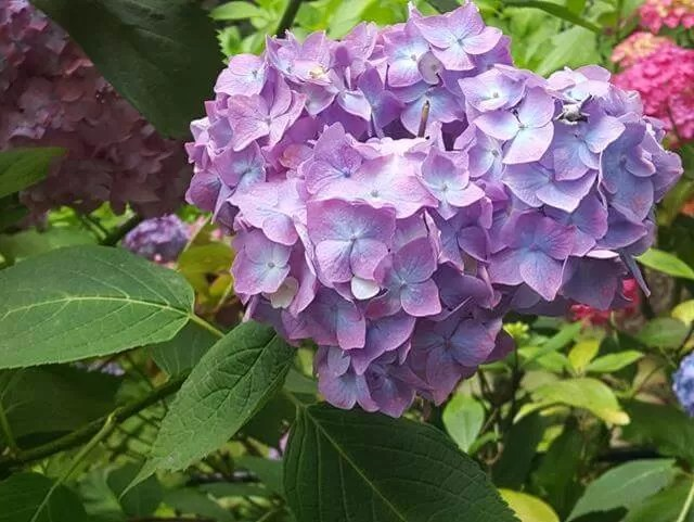 purple hydrangeas at Watermouth castle