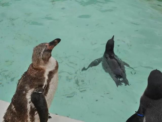humbolt-penguins