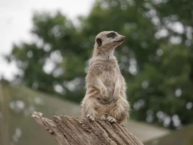 meerkat-at-cotswold-wildlife-park