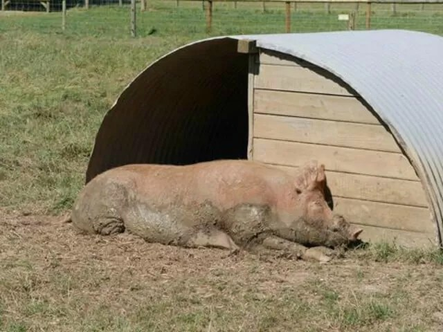 muddy-pig-in-the-sun