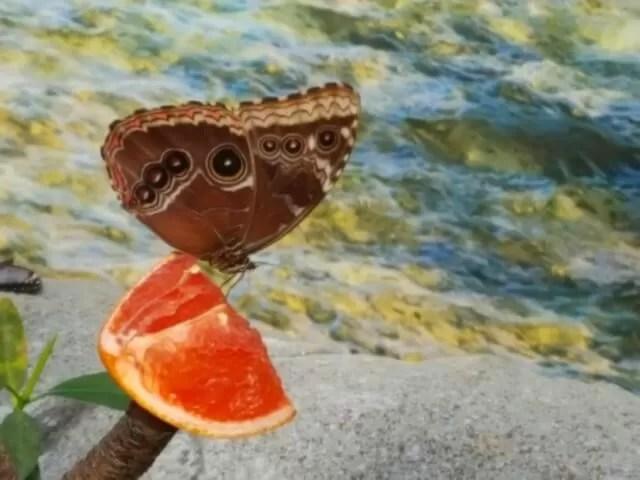 butterfly feeding on grapefruit at Living Rainforest