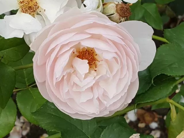 pretty-in-pink-rose