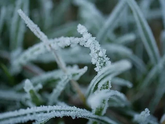 frosty grass fronds