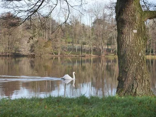 graceful swan at stowe gardens