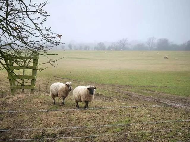 2 sheep at stowe