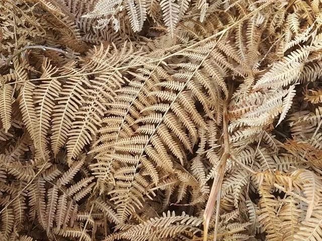 Ferns and bracken in New Forest