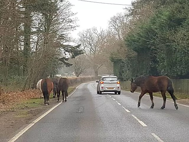 New Forest ponies crossing the road