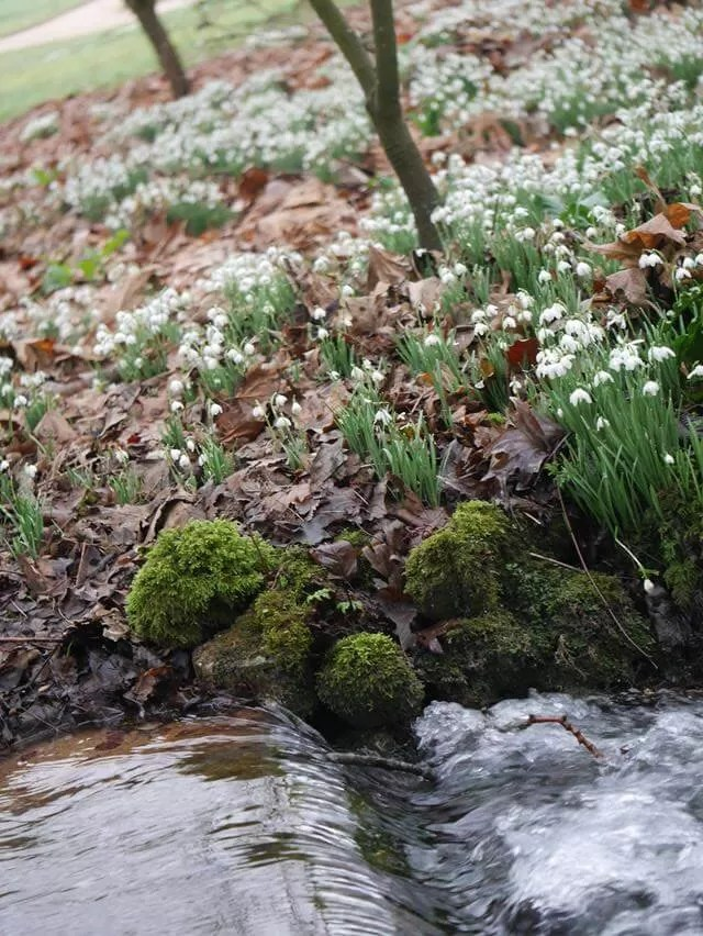 Stream and snowdrops at Mottisfont
