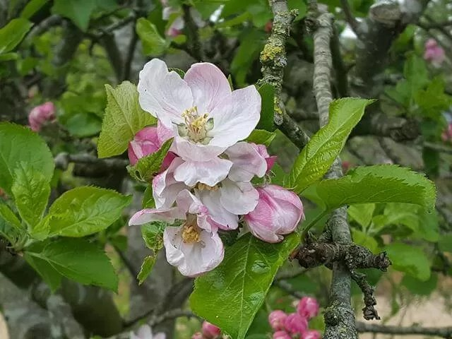 cooking apple blossom
