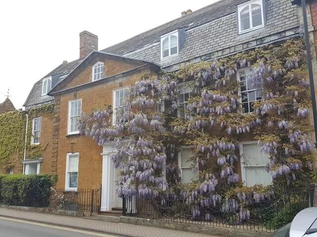 wisteria on house front
