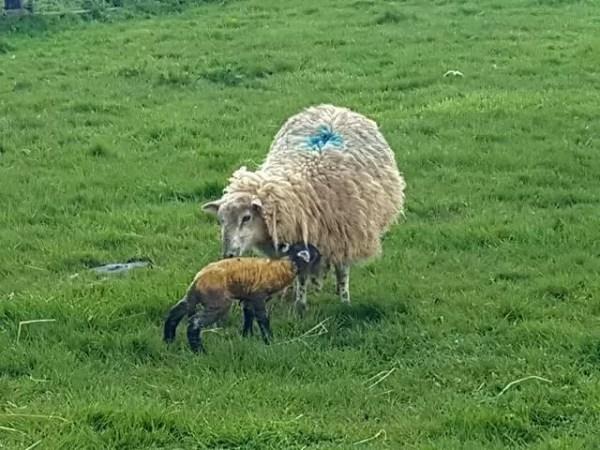 My Sunday Photo - newborn lamb