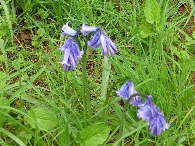 blueebells at Upton