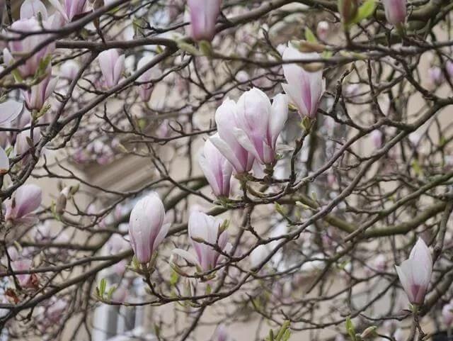 magnolia in Oxford