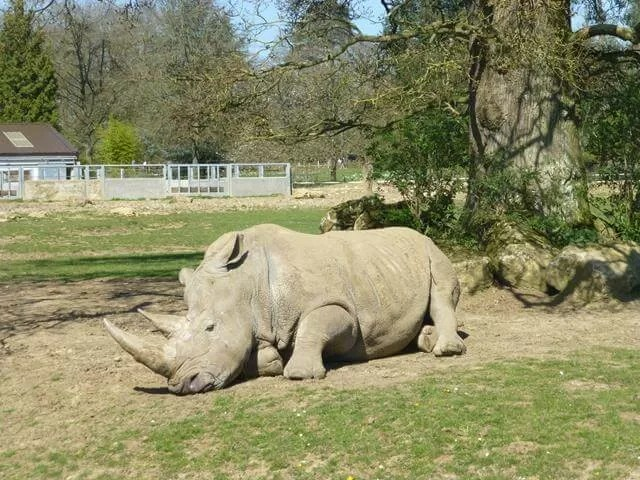 rhino sitting down at Cotswold wildlife park