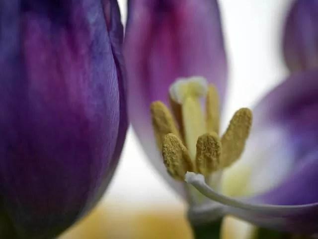 tulip stamens macro