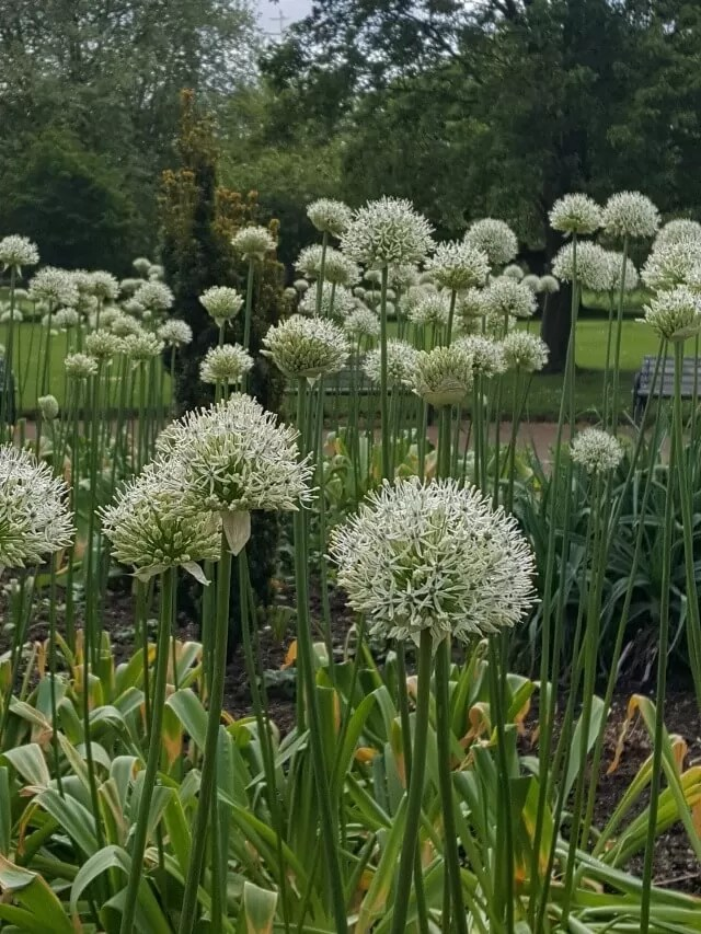 beautiful alliums in st nicholas park
