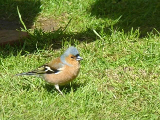chaffinch at Felbrigg Hall