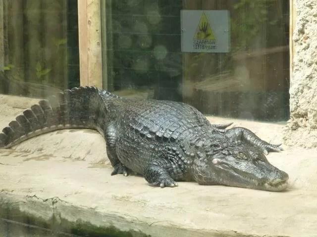 crocodile at amazonia