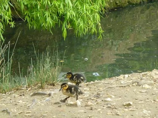 ducklings at amazonia zoo