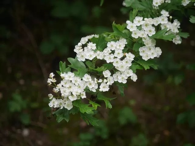hawthorn flowers at Ryton Pools
