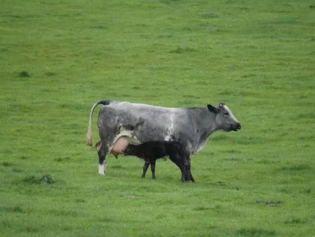 newborn calf happy and feeding