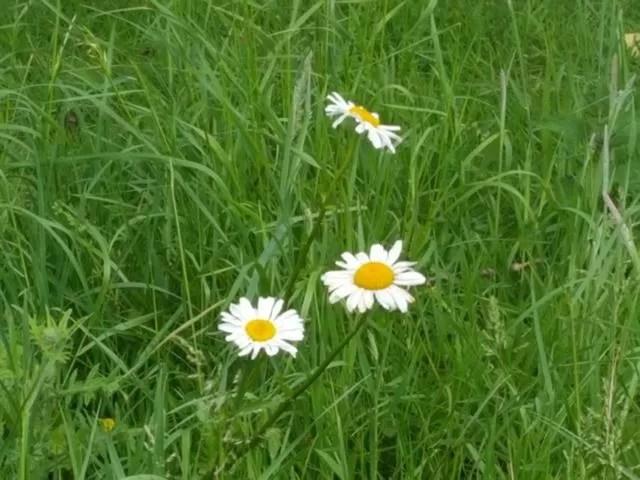 giant daisies