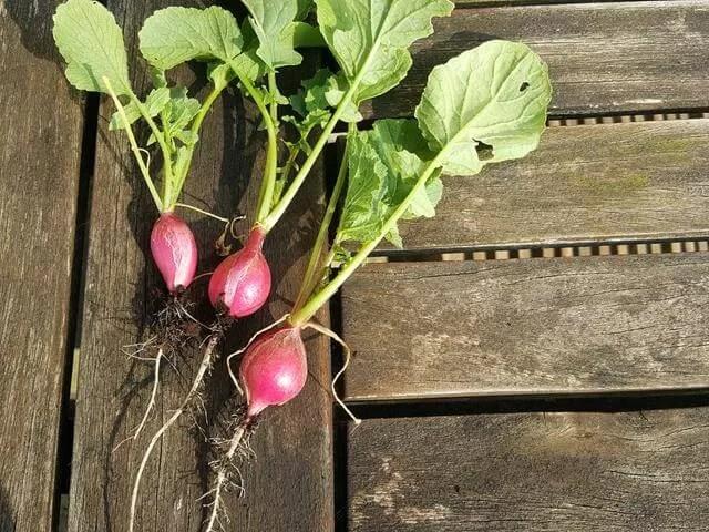 homegrown radishes
