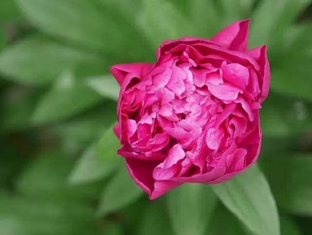 pink flowers in roman gardens