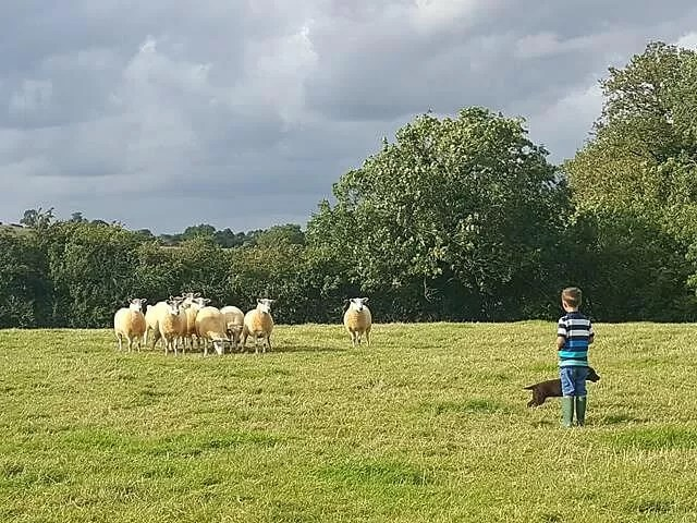 counting his sheep with puppy at heel