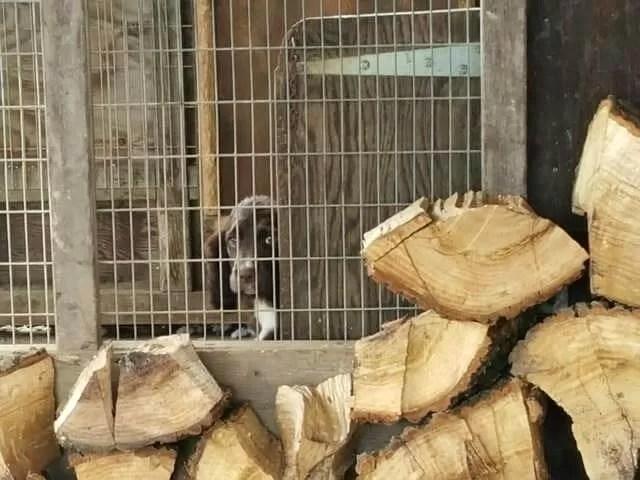 sprocker puppy peeking out of the kennel