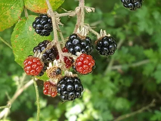 blackberries ready for picking