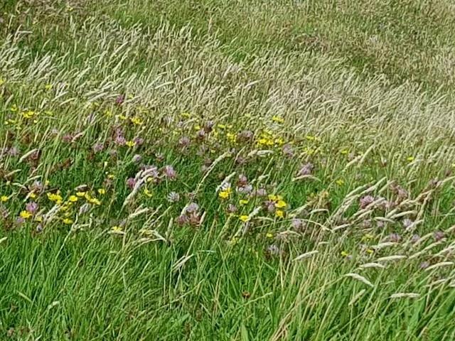 wildflowers at rhossili bay