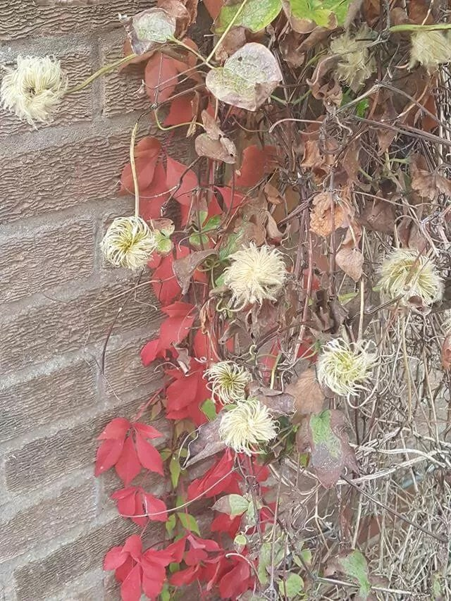 virginia creeper and clematis